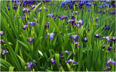 Iris flowers used for basketry weaving. These siberian iris leaves are great for drying and weaving.