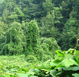 Kudzu vines like the one Matt harvests for his baskets.